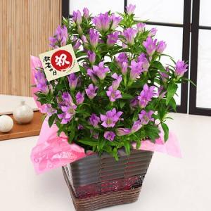 敬老の日 鉢植え「リンドウ〜優雅な大人の桃紫色〜」