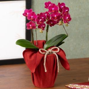 敬老の日 鉢植え「長寿を祝う胡蝶蘭〜茜〜」