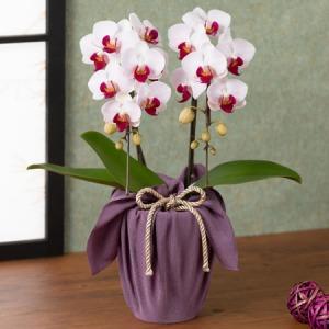 敬老の日 鉢植え「長寿を祝う胡蝶蘭〜葡萄〜」