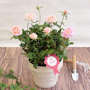 母の日 鉢植え「ミニバラ レディーメイアンディナ」