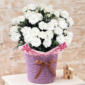 鉢植え「お母さんを偲ぶ白いカーネーション」