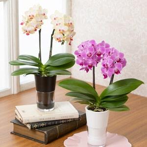母の日父の日 鉢植え「テーブル胡蝶蘭」