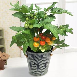 父の日 鉢植え「ミニトマト」