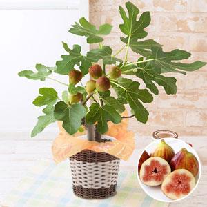 父の日 鉢植え「おうち果樹園 イチジク」
