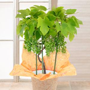 父の日 鉢植え「おうち果樹園 デラウェア」