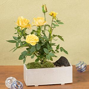 父の日 鉢植え「ミニバラ盆栽仕立て」