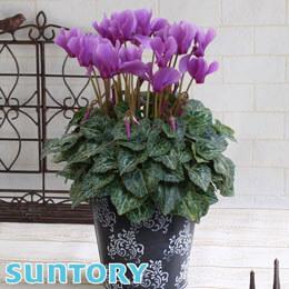 鉢植え「シクラメン セレナーディア アロマブルー」