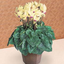 鉢植え「シクラメン ゴールデンガール」