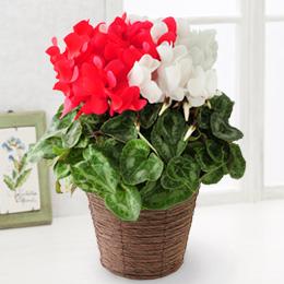 鉢植え「縁起のよい紅白シクラメン」