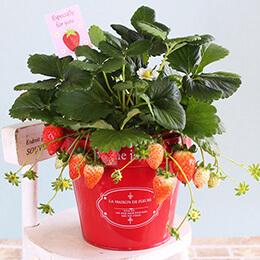 EX鉢植え「恋するストロベリー」