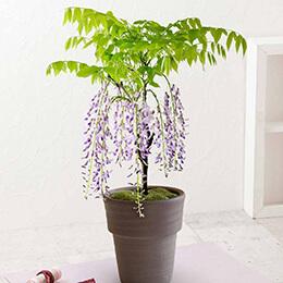 盆栽「和の趣きを感じる藤の花」
