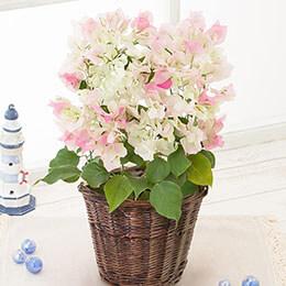 鉢植え「ブーゲンビリア ブライダルピンク」