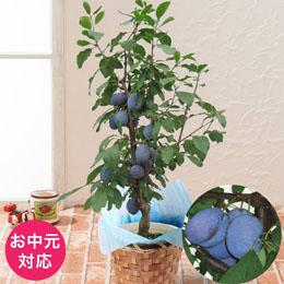 お中元 鉢植え「プルーン〜健康を気遣う思いやりギフト〜」