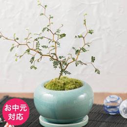 お中元 盆栽「メルヘン・ツリー」