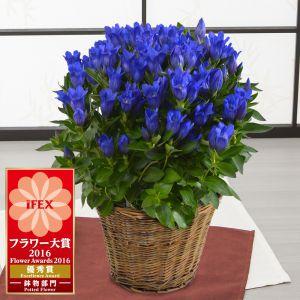 鉢植え「プレミアムりんどう 銀河ブルー」