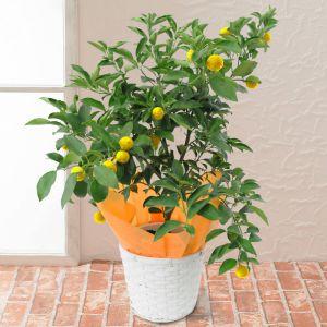 鉢植え「長寿を願う柚寿」