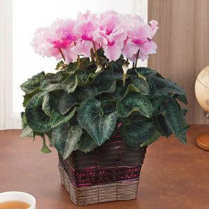 鉢植え「シクラメン あげはピンクフレーム」