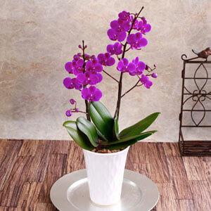 鉢植え「幸せの胡蝶蘭 紅」