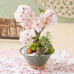 EX盆栽「風流桜」