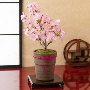 鉢植え「御殿場桜」