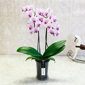 鉢植え「胡蝶蘭 ランラン」