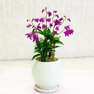 鉢植え「キンギアナム〜真心伝える香りの贈り物〜」
