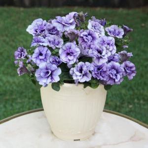 鉢植え「八重咲きペチュニア バニラブルー」
