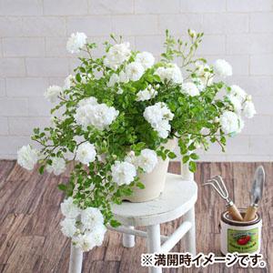鉢植え「しだれ咲きバラ スノーシャワー」