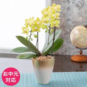 お中元 胡蝶蘭「幸福の黄色い胡蝶蘭」