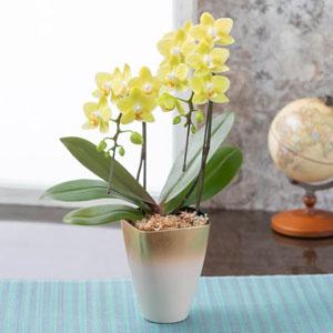 胡蝶蘭「幸福の黄色い胡蝶蘭」
