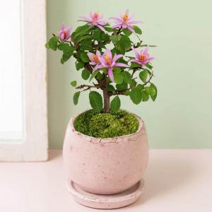 盆栽「睡蓮木」