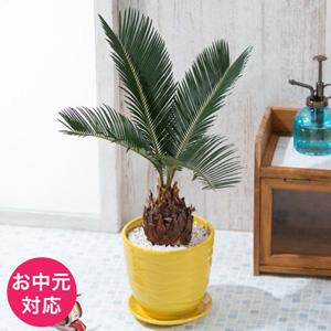 EXお中元 観葉植物「ソテツ」