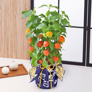 EX鉢植え「ほおずき〜和モダン風呂敷包み〜」