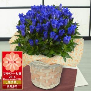鉢植え「プレミアムリンドウ 花巻銀河ブルー」