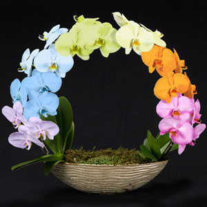 鉢植え「胡蝶蘭 MIYABI 虹のかけはし」