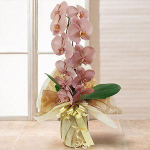 鉢植え「胡蝶蘭 MIYABI ブロンズ」