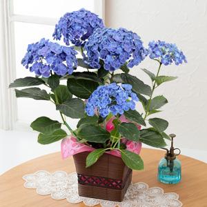 鉢植え「お多福紫陽花」