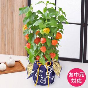 EXお中元 鉢植え「ほおずき〜和モダン風呂敷包み〜」