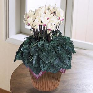 鉢植え「シクラメン ネオゴールデンガール」