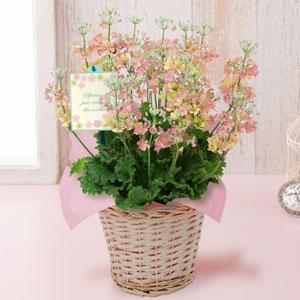 EX鉢植え「プリムラ・マラコイデス ウィンティー(R)ピーチ」