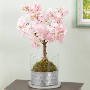盆栽「桜の苔玉」