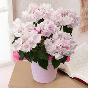 鉢植え「アジサイ ノーブルピンク」