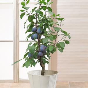 鉢植え「プルーン」