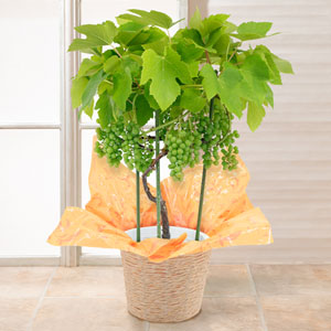 鉢植え「おうち果樹園 デラウェア」