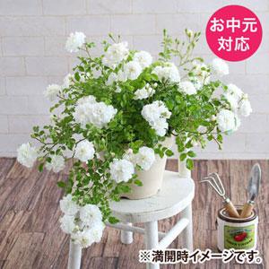 お中元 鉢植え「しだれ咲きバラ スノーシャワー」