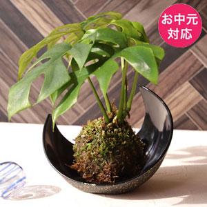 お中元 観葉植物「涼・苔玉 モンステラ」