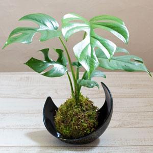 観葉植物「涼・苔玉 モンステラ」