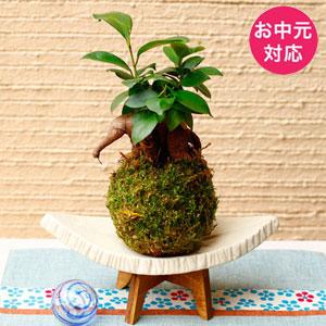 お中元 観葉植物「涼・苔玉 ガジュマル」