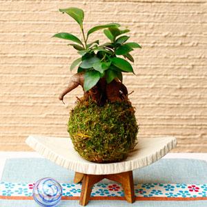 観葉植物「涼・苔玉 ガジュマル」