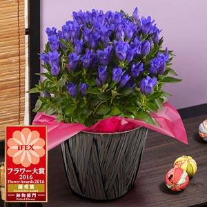 鉢植え「プレミアムりんどう 花巻銀河ブルー」